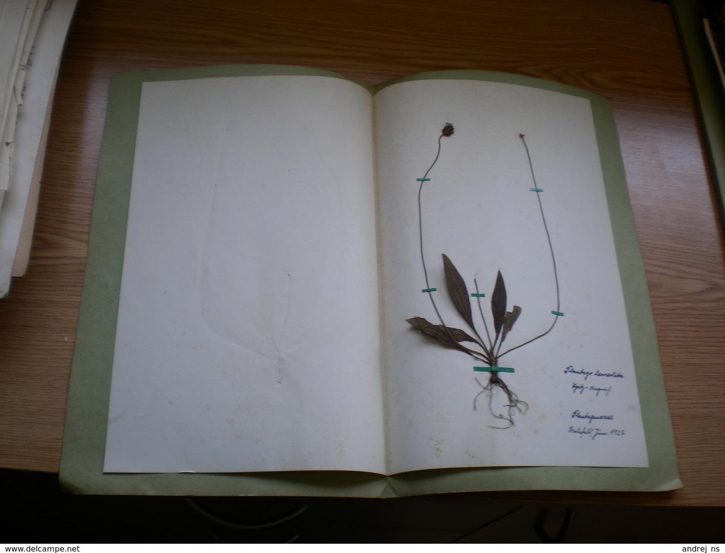 Old Herbarium Plantaginaceae 1927 - B. Flower Plants & Flowers