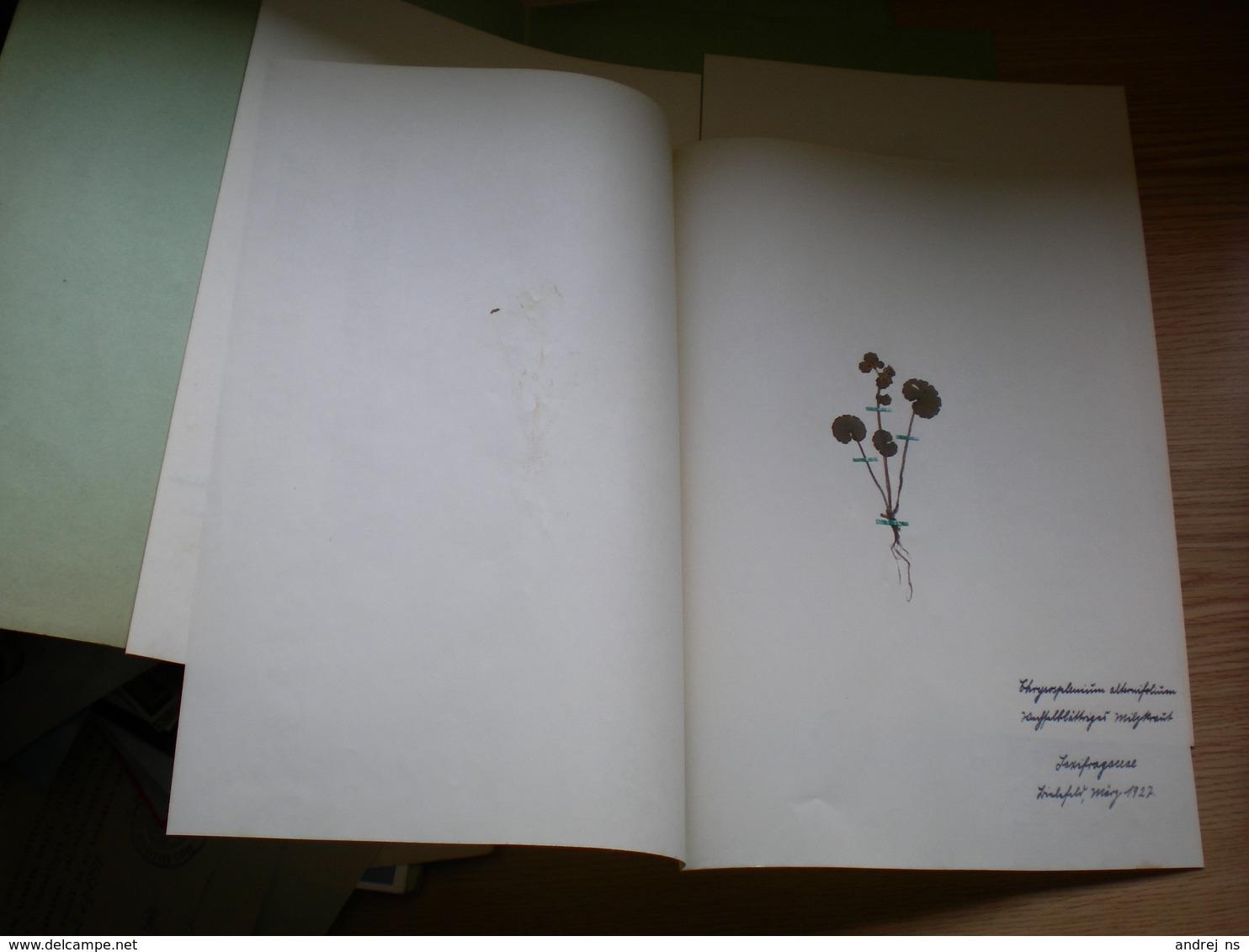 Old Herbarium Saxifragaceae 1927 - B. Flower Plants & Flowers