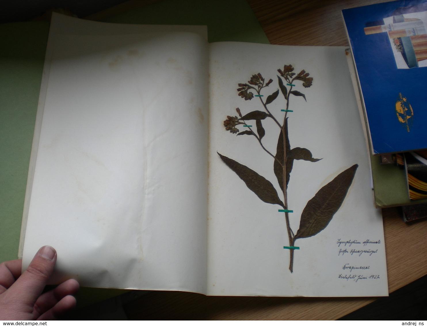 Old Herbarium Boraginaceae 1927 - B. Flower Plants & Flowers