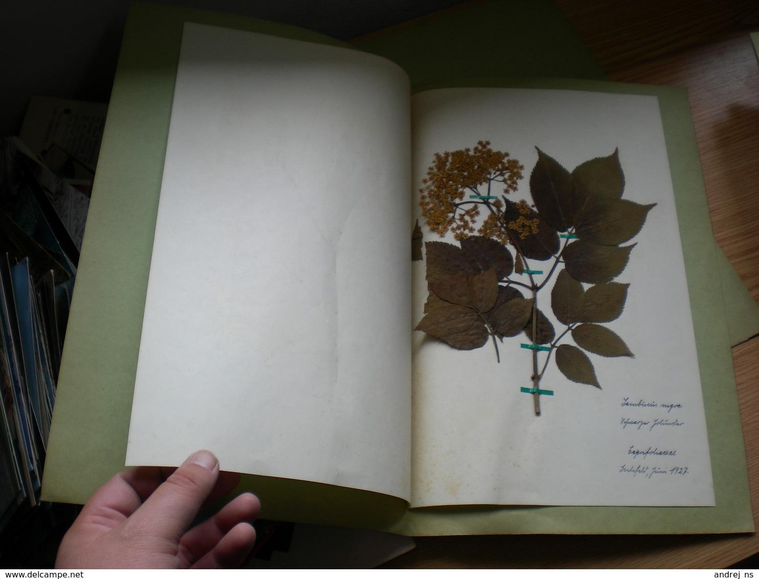 Old Herbarium Caprifoliaceae 1927 - B. Flower Plants & Flowers