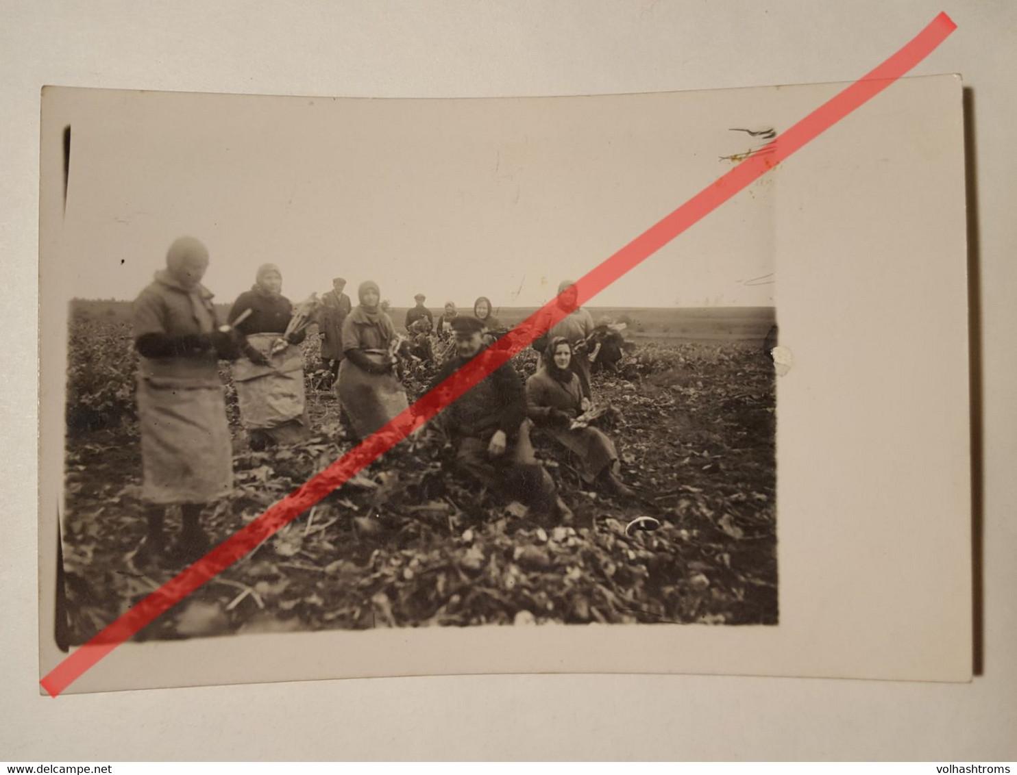 Photo Vintage. Original. Agriculture. Récolte Des Betteraves. Lettonie D'avant-guerre - Professions