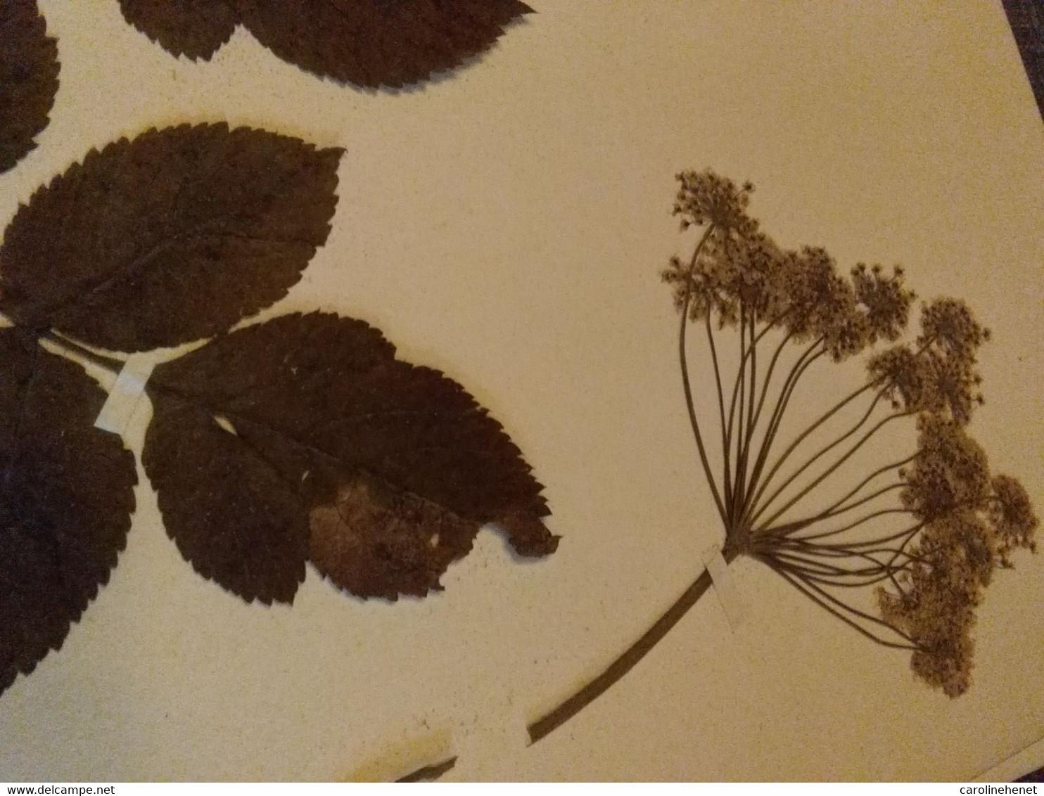 Planches Herbier Apiaceae - B. Bloemplanten & Bloemen
