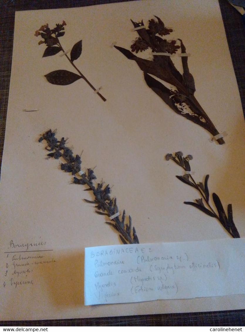 Planches Herbier Boraginaceae - B. Bloemplanten & Bloemen