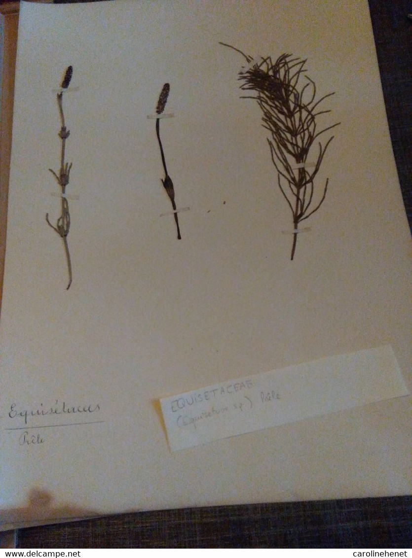 Planche Herbier Equisetaceae - B. Bloemplanten & Bloemen