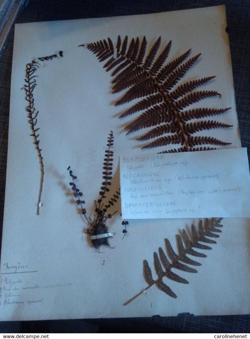 Planches Herbier Ptéridophytes - B. Blumenpflanzen Und Blumen