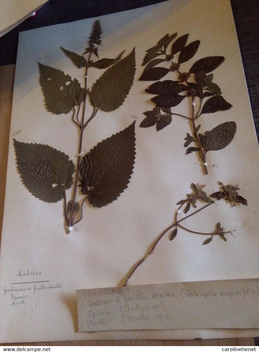 Planches Herbier Lamiaceae - B. Bloemplanten & Bloemen
