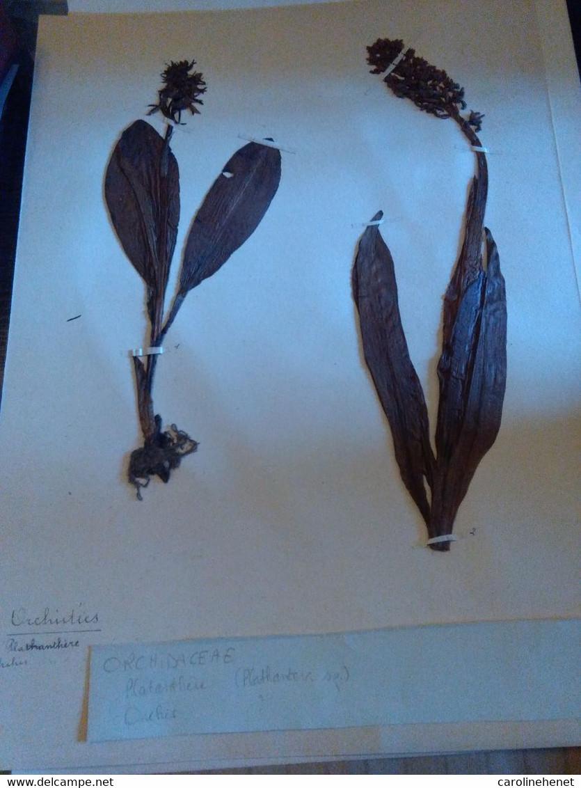 Planches Herbier Orchidaceae - B. Piante Fiorite & Fiori