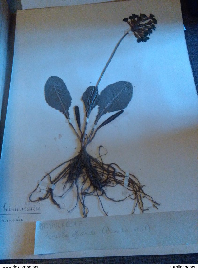 Planche Herbier Primulaceae - B. Bloemplanten & Bloemen