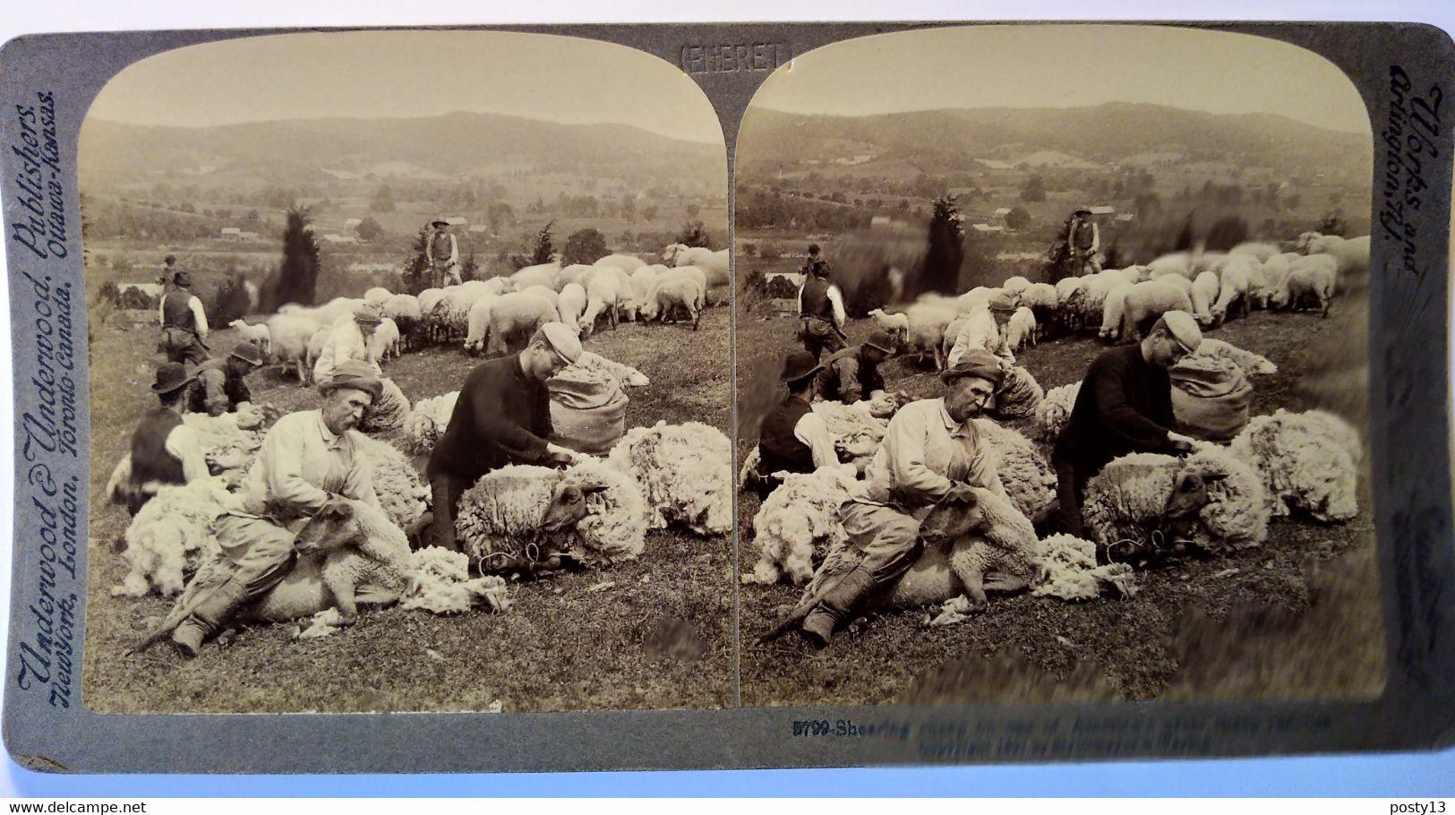 PHOTO STÉRÉO USA - Tonte Des Moutons D'un Grand Ranch - 1897  - Ed. Underwood  Superbe ! TBE - Stereoscopio