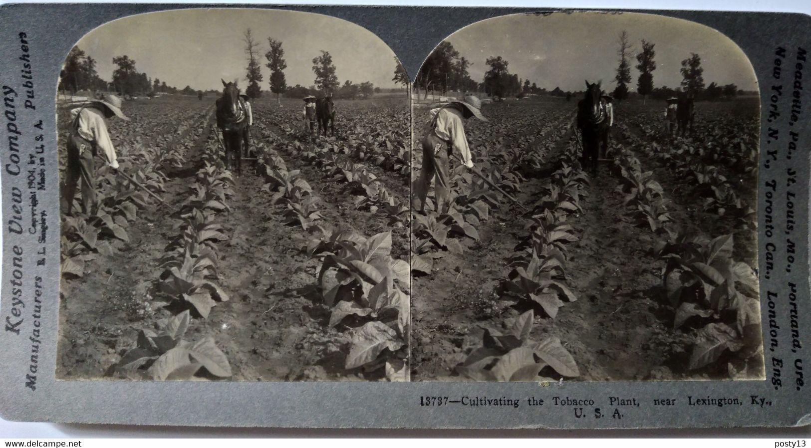 PHOTO STÉRÉO USA - Culture Du Tabac - Scène Rurale - Près De Lexington - Cliché De Singley - 1904 - Ed. Keystone - TBE - Stereoscopio