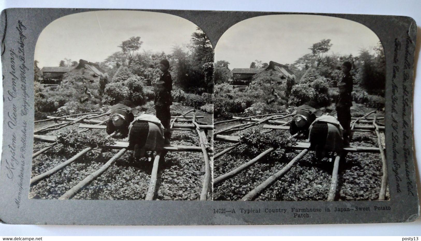 PHOTO STÉRÉO Japon - Culture De La Patate Douce -  1904 - Cliché De B. L. Singley - A Voir ! Ed. Keystone - TBE - Stereoscopio