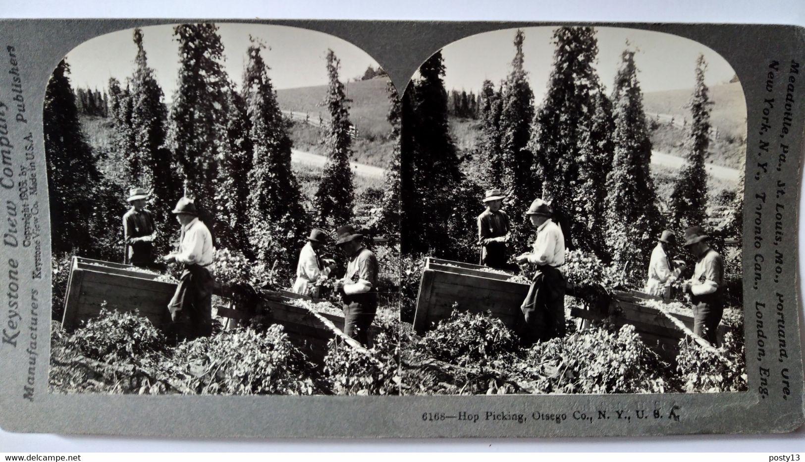 PHOTO STÉRÉO USA - Récolte Du Houblon - Agriculture - 1905 - Ed. Keystone TBE - Stereoscopio