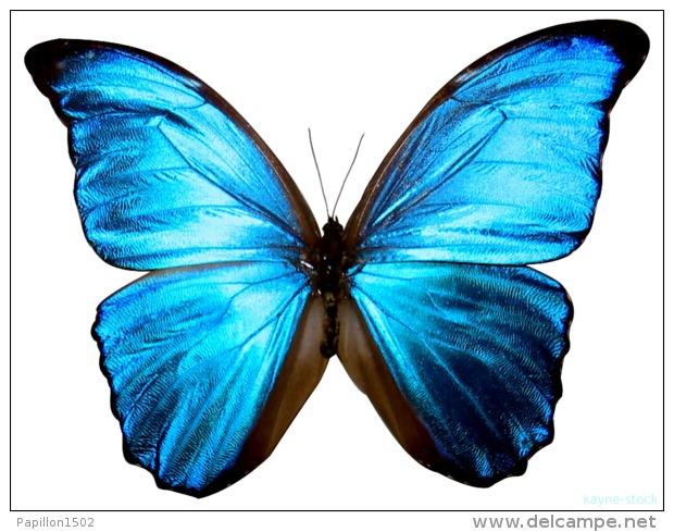 papillon1502