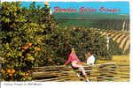 Florida's Golden Oranges - Picking Oranges In Mid-Winter - Etats-Unis