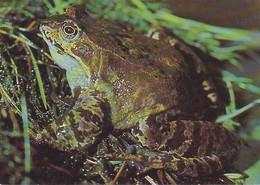 Carte Postale CP Neuve - GRENOUILLE Rousse  Rana Temporaria - FROG Mint Postcard - FROSCH Postkarte - Ohne Zuordnung