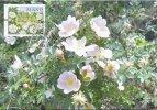 ALAND - Maximum Card / Carte Maximum ATM Frama - Rosa Pimpinellifolia - Burnet Rose - 2008 - Aland