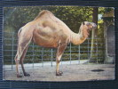 CPA Chameau   L810 - Tierwelt & Fauna