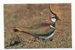Oiseau. Bird. Vanneau Huppé. Parc Ornithologique Du Marquenterre. Editions D'Art YVON - Birds