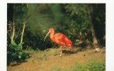 Oiseau. Bird. Ibis Rouge. Parc Ornithologique Départemental Villars Les Dombes. As De Coeur - Birds