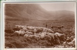 Animals - Sheep - Amongst The Hills In Bonnie Scotland - Real Photo Postcard - Unclassified
