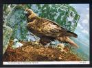 RB 740 - Postcard - Golden Eagle & Chick - Bird Theme - Oiseaux