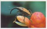 Charançon,insectes,forêt Tropicale D´Amérique Centrale,vignette Jungle Mania N°57 - Altri