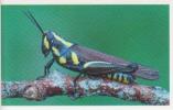 Criquet,insecte,Afrique,C   Ongo,vignette  Jungle Mania N°85 - Adesivi