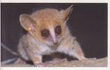 Microcèbe Mignon,Afrique,Madagascar ,vignette Jungle Mania N°98 - Stickers