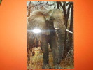 Elefante Africano Non Viaggiata Lieve Piega Angolo - Elephants