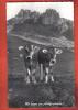 B101 Wir Lassen Uns Photographieren Génisses.Non Circulé.Otto Furter Davos 700 - Vaches