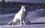 Deutschland - P 10/02 - Polar Fuchs - Eisfuchs - Fox - Germany
