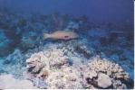 Maurice,Mauritius,ile Océan Indien,Archipel Des Mascareignes,Mérou,poisso N,beau Timbre Voir Scan - Maurice