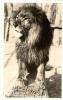 LION FARM , EL MONTE, CALIFORNIA - 'NUMA' - Lions