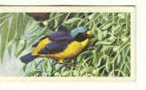 @@@ TROPICAL BIRDS Collection Card - Brooke Bond Tea - No:29 - BLUE-HOODED EUPHONIA - Unclassified