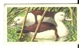 @@@ TROPICAL BIRDS Collection Card - Brooke Bond Tea - No:46 - RADJAH SHELDUCK - Other Collections