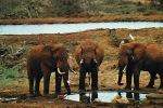ELEPHANTS  - FAUVES DE L´AFRIQUE ORIENTALE - Cpm Grand Format Couleurs - PAYPAL SANS FRAIS - - Éléphants