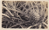 RP; Patch Of Pineapples, 10-20s - Cultures