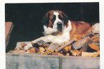 Chien. Dog. Saint Bernard. Photo : Fritz Mader / Mauritius. Houtland - Chiens