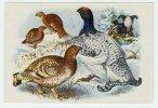 Bunte Vögel Aus Aller Welt (1953) - I.97 - Lyrurus, Tetrao, Birkhuhn, Korhoen, Black Grouse, Tetras Lyre - Non Classés