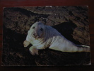 A Young Seal Pup 1966 ? Used Postcard - Unclassified