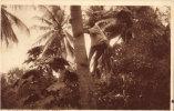 Mombasa Climbing A Cocoanut Tree - Kenia