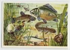 Herba - Tierwelt Der Heimat (1960) - 35 - Karpfen, Schlei, Ukelei, Fish, Vissen, Pisces, Poissons - Chromos