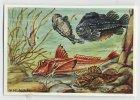Herba - Tierwelt Der Heimat (1960) - 65 - Meeresfische, Fish, Vissen, Pisces, Poissons - Chromos