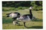 """Oiseau. Bird. Bernache Nonnette. Réserve Ornithologique Du """"Zwin"""" - Birds"""