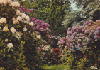 18633 Cerisi Belle Etoile, Allée Rhododendrons. A 61.078.00.0.0056 Cim.