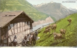 SEELISBERG MIT KUHHERDE UND ÄLPLERN ++++ Ca.1900, Colorierter Lichtdruck - UR Uri