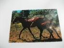 Cavallo Puledro - Pferde