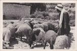 Bethlehem - A Shepherd, Sheep, Old Real Photo Postcard - Palestine