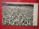 Montana > Glendive--Flock Of Sheep Ready For Market  Ca 1910===   ===ref 309 - Anaconda