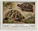 Palmin (ca 1930) - 108 Für Euer Terrarium - 1 - Landschildkröte, Testudo, Turtle, Tortue - Chromos